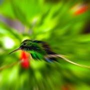 Humming bird zoom blurred effect Stock Photos