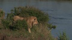 Lion ( panthera leo) male walking beside river edge, waiting for prey Stock Footage