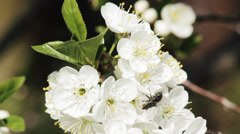 Midge on the blossom tree, white flowers, flies, fly. Stock Footage