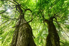 huge maple tree - stock photo
