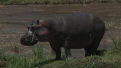 hippopotamus (hippopotamus amphibius) standing on mara river bank - stock footage