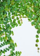 The green creeper plant on the wall for background. Stock Photos