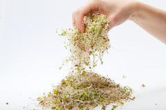 fresh alfalfa sprouts isolated on white background - stock photo