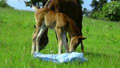 Arabian foal exploring a plastic sheet on meadow Stock Footage