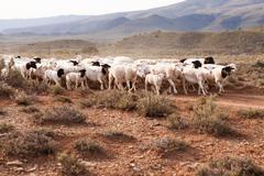 Flock of sheep walking down gravel road Stock Photos