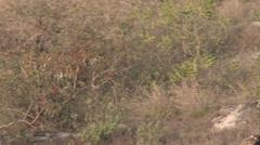 P03508 4k of Tiger Walking at Bandhavgarh National Park Stock Footage