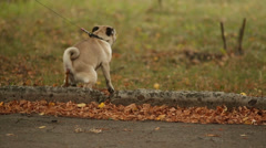 Dog Making A Poop - stock footage