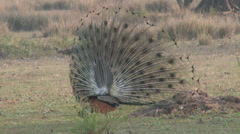 P03525 Peacock Strutting its Tail Feathers Stock Footage