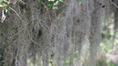 Spanish moss hanging in a tree Stock Footage