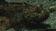 A scorpionfish in the water swimming and turning slowly Stock Footage