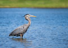 Great blue heron (ardea herodias) Stock Photos