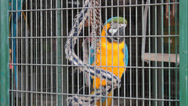 Stock Video Footage of blue and yellow macaw in cage munches on a chain