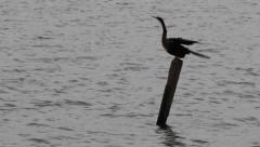 American Darter Perched on a Tree Stump on the Water Stock Footage