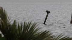 Anhinga (Darter)bird perched on top of post in the water Stock Footage