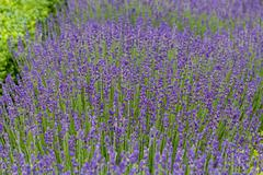 gardens with the flourishing lavender at castles in the valley of loire - stock photo