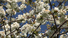 Spring Cherry Blossom against a blue sky Stock Footage