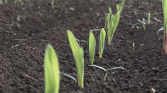 Rows of sunlit young corn plants on a moist field - stock footage