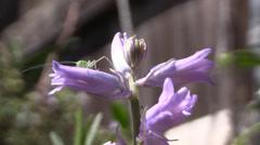 Fork-tailed bush katydid nymph Stock Footage