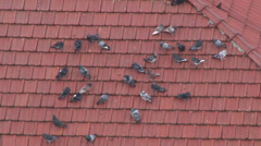pigeons on the roof - stock footage