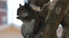 Gray squirrel eating nut with beautiful contrast to background Stock Footage