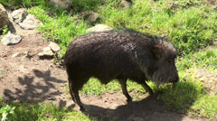 Chacoan peccary or tagua (Catagonus wagneri). Stock Footage