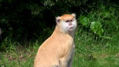 Patas Monkey (Erythrocebus patas), or Wadi monkey or Hussar monkey. Stock Footage