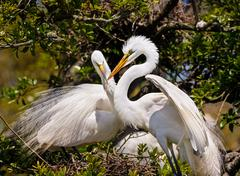 Egrets Build Nest - stock photo
