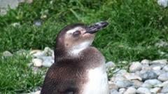 Magellanic Penguin (Spheniscus magellanicus). Stock Footage