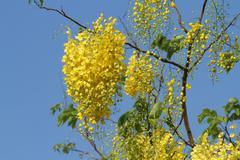 Cassis fistula flower or golden shower Stock Photos