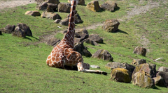Reticulated Giraffe is sitting Stock Footage
