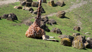 Stock Video Footage of Reticulated Giraffe is sitting