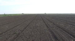 Rows of sunlit young corn plants on a moist field panoramic view - stock footage