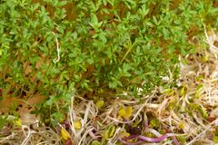fresh alfalfa sprouts and cress on white background - stock photo