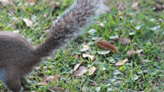 Gray Squirrel Won't Stay Still for Camera - stock footage