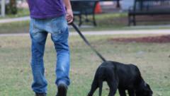 Man Walks Black Labrador Puppy in Park Stock Footage