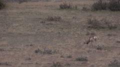 Pronghorn Antelope Buck in Rut - stock footage