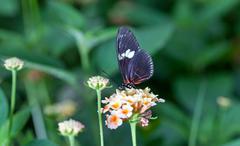 Heliconius melpomene - stock photo