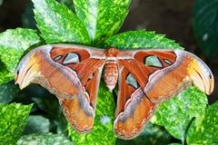 Giant Atlas Moth - stock photo