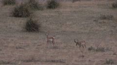 Pronghorn Antelope Buck and Doe Stock Footage