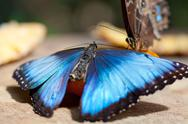 Stock Photo of Morpho butterfly