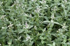 Fresh mint in garden Stock Photos