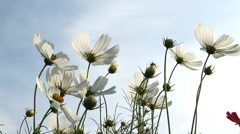 Cosmos flowers - stock footage