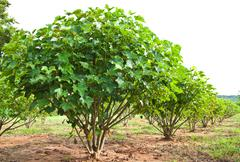 jatropha plant in countryside of thailand - stock photo