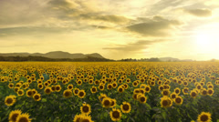 Flying Over a Sunflower FIeld, Seamless Loop Stock Footage