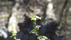 Young branches bush blackberry leaves Stock Footage