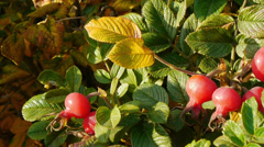 Sunny rose hip Stock Footage