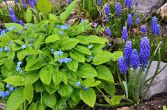Grape hyacinth in the garden Stock Photos