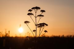 field of milfoil grass during summer sunset - stock photo