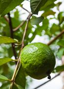 guava on tree - stock photo