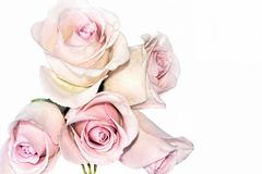 classic long-budded silvery pink tea roses - stock photo